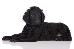 curly coated retriever dogs breed information omlet