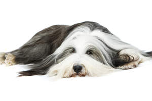 An adult Old English Sheepdog relaxing on the floor