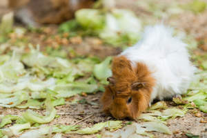 An Abyssinian Guinea Pig with beautiful white and red fur