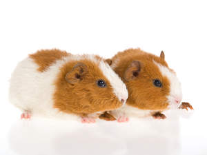 Two little brown and white Rex Guinea Pig lying together