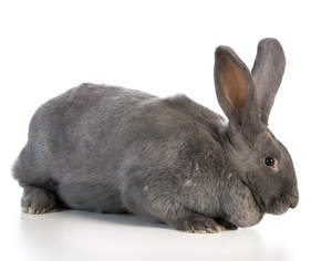 flemish giant for sale rabbits breed information omlet. Black Bedroom Furniture Sets. Home Design Ideas