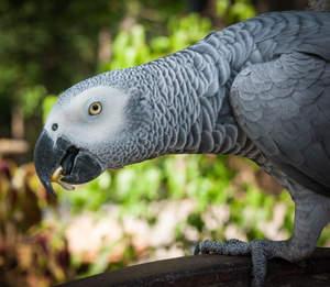 african grey parrot for sale parrots breed information. Black Bedroom Furniture Sets. Home Design Ideas