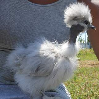 Splash Silkie Showgirl