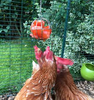 The ladies love attacking their food ball full of tomatoes!