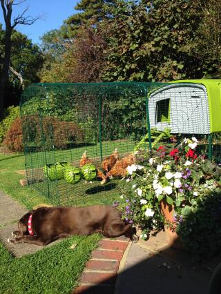 Poppy the dog loves the chickens too!