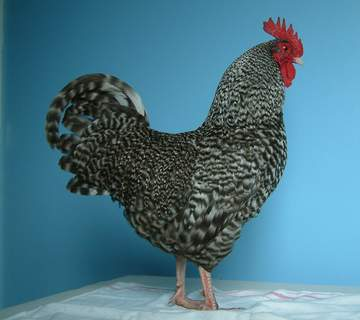 Bantam Marans cockerel