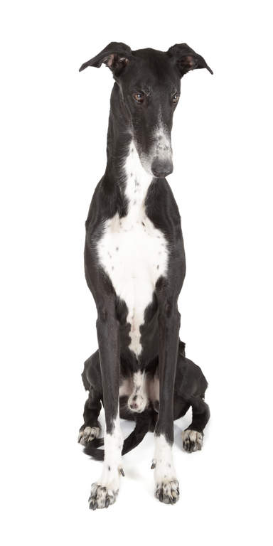 Greyhound Dogs Breed Information Omlet