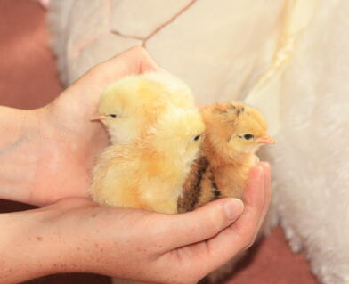 light sussex hybrid chicks