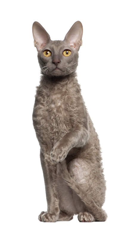 cornish rex cats breed information omlet