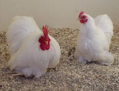 My two Pekins