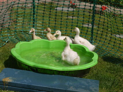 Ducklings taking their first Bath