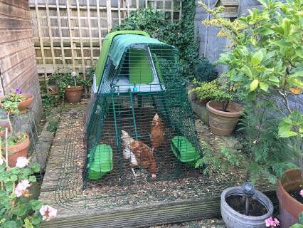 Edina and Patsy the urban chickens enjoy their five star Omlet accommodation