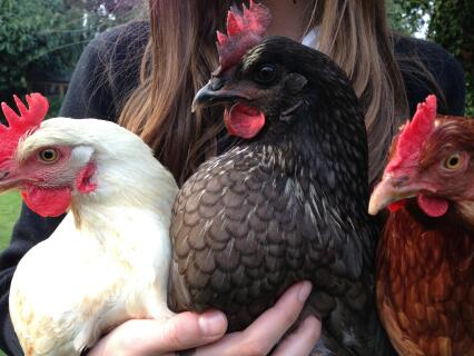 Three Hybrid chickens, Ginger Amber and Bluebell
