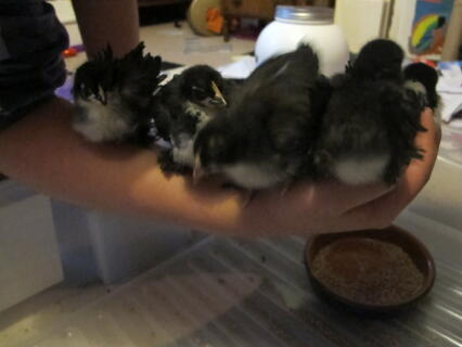 5 pekin and frizzle chicks
