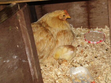 custard cream and her chicks
