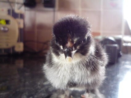 my pekin chick