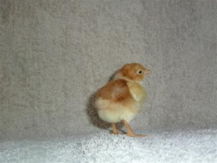 Speckled Sussex chick