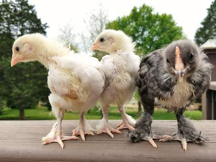 2 splash and 1 blue Marans - 1 month old