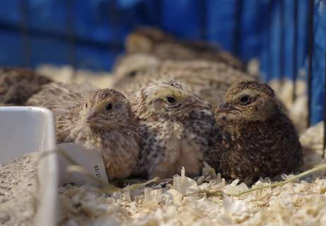 Coturnix Quail being casual