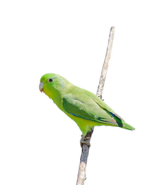 Winged Parrotlet Blue Winged Parrotlet