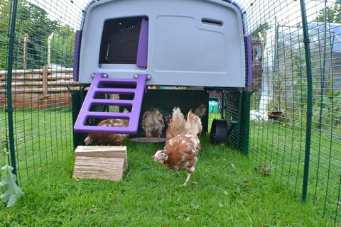 Our new rescue hens enjoying exploring in the Eglu run