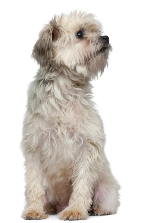 Lowchen | Dogs | Breed Information | Omlet German Mastiff Breeds