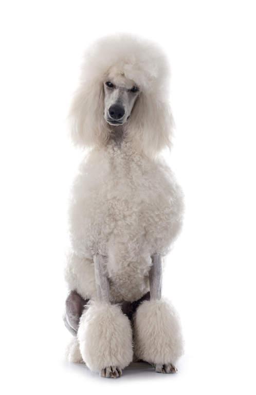 Poodle Dogs Breed Information Omlet