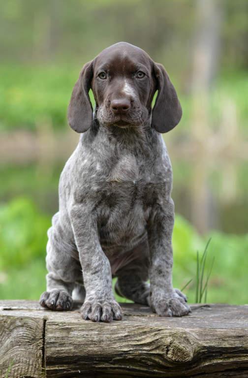 Dog-German_short_haired_pointer-A_German_short_haired_pointer_puppy ...