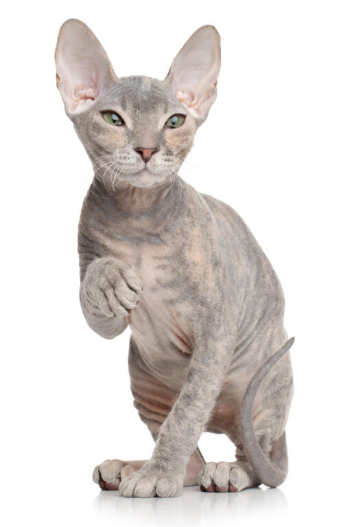 Donskoy - Don Sphynx Cat | Cats | Breed Information | Omlet
