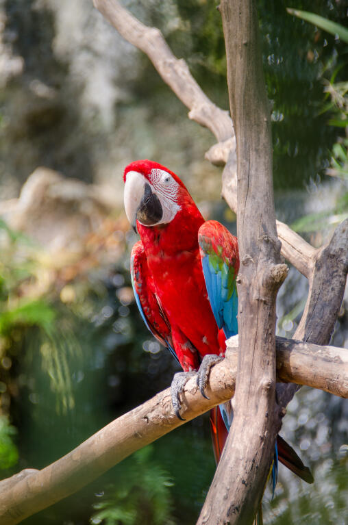 Scarlet Macaw | Parrots | Breed Information | Omlet