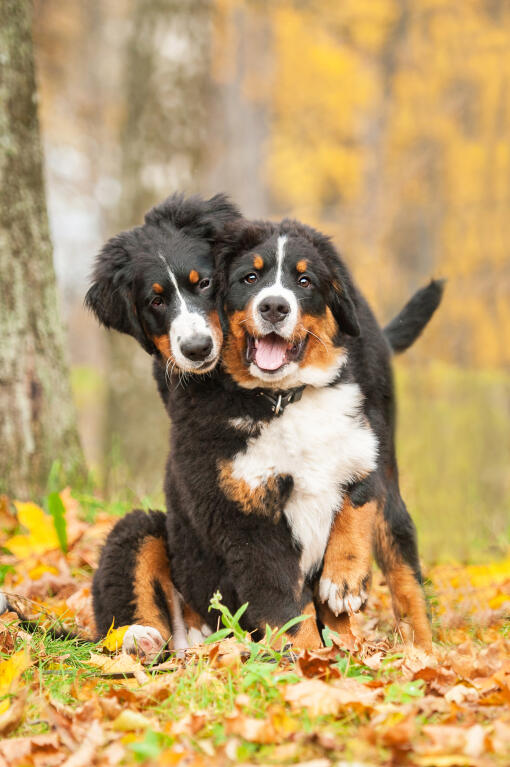 Bernese Mountain Dog | Dogs | Breed Information | Omlet