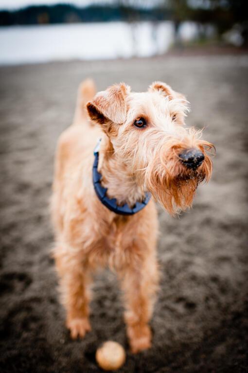 Irish Terrier Dogs Breed Information Omlet