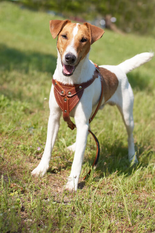 _Fox_Terrier-A_Smooth_Fox_Terrier_standing_tall,_waiting_for_it's ... Smooth Fox Terrier South Africa