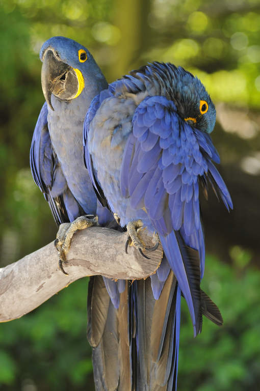 Hyacinth Macaw | Parrots | Breed Information | Omlet
