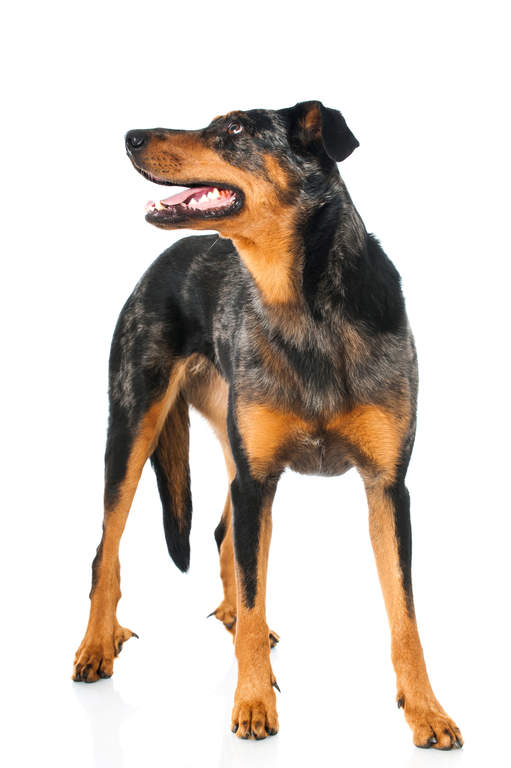 Beauceron Dogs Breed Information Omlet