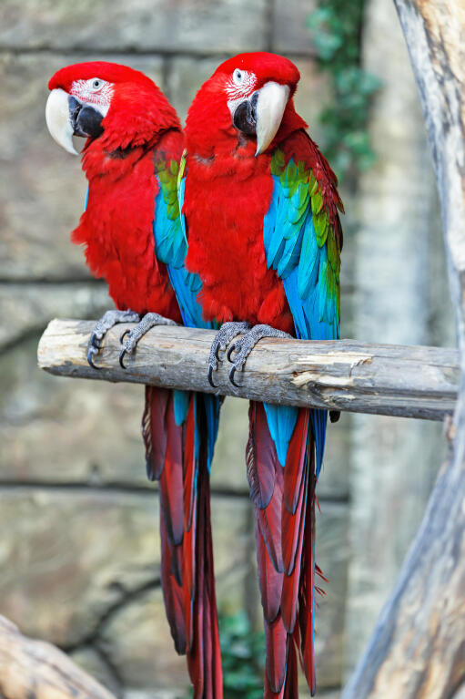 Blue and red parrots