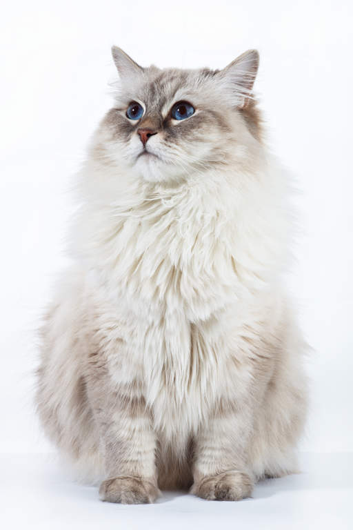 Neva Masquerade Cats Breed Information Omlet