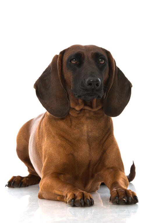 Bavarian Mountain Hound Dogs Breed Information Omlet