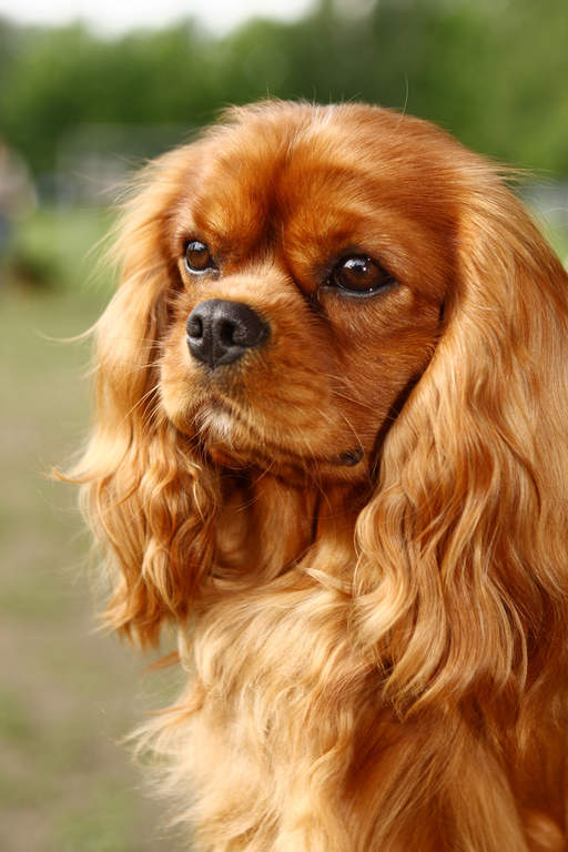 Cavalier King Charles Spaniel Dogs Breed Information