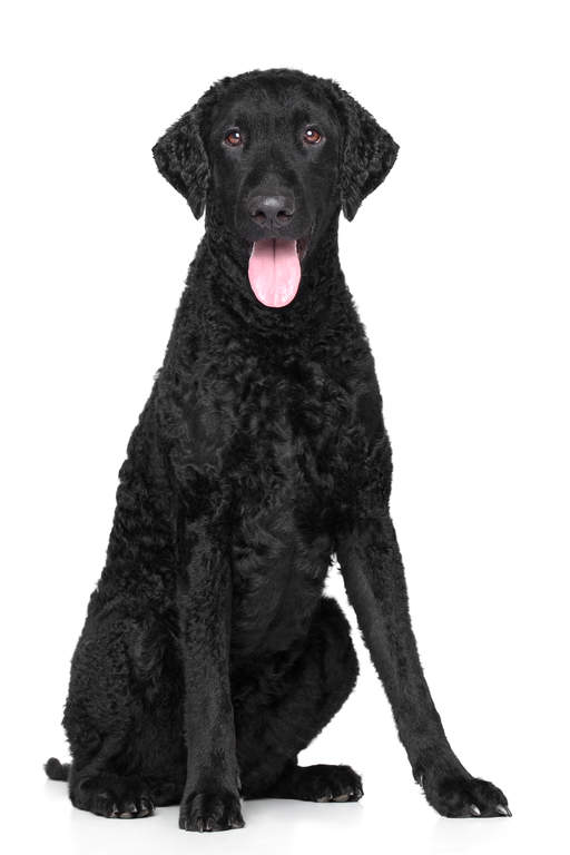 Curly Coated Retriever Dog Breed Information and Pictures