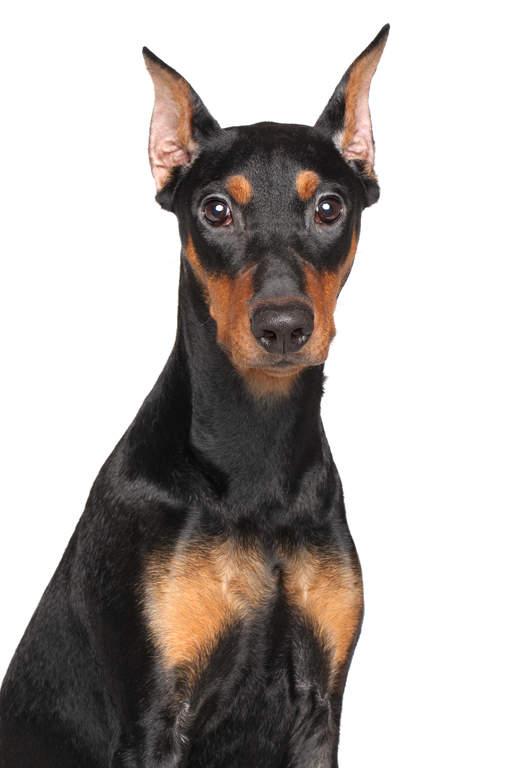German pinscher dogs breed information omlet for Pinscher temperamento