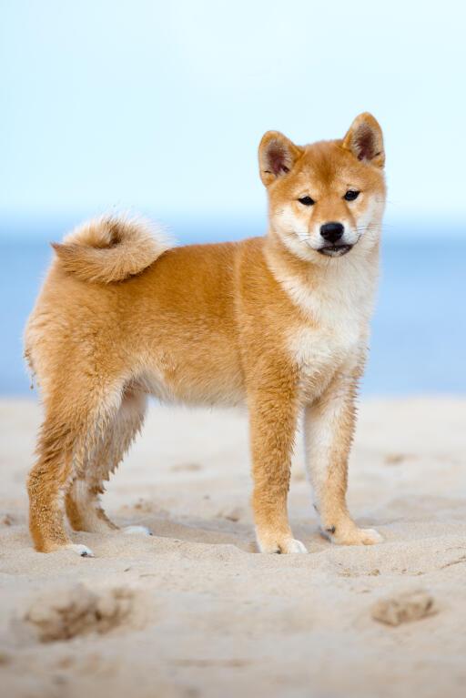 Japanese Shiba Inu Dogs Breed Information Omlet