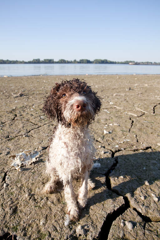 Lagotto Romagnolo Dogs Breed Information Omlet