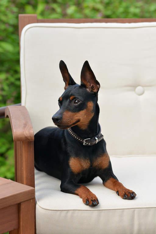 Miniature Pinscher | Dogs | Breed Information | Omlet | 512 x 768 jpeg 36kB