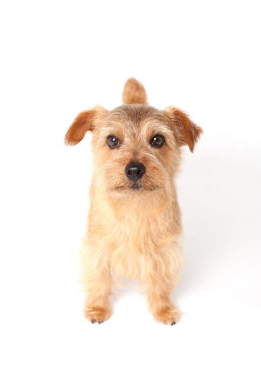 Norfolk Terrier Dogs Breed Information Omlet