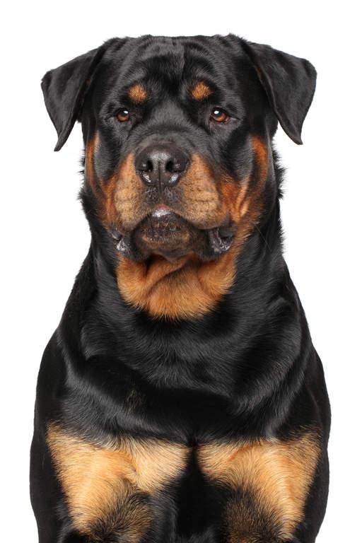 Rottweiler Dogs Breed Information Omlet