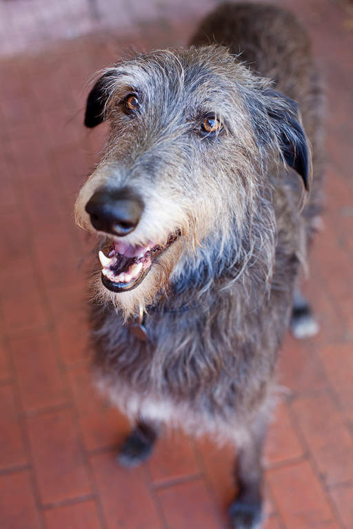 Scottish Deerhound Dogs Breed Information Omlet