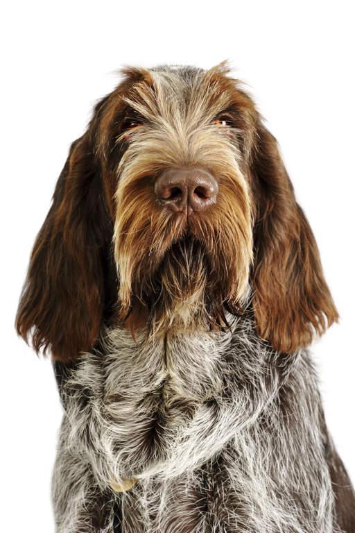 Spinone Italiano Dogs Breed Information Omlet