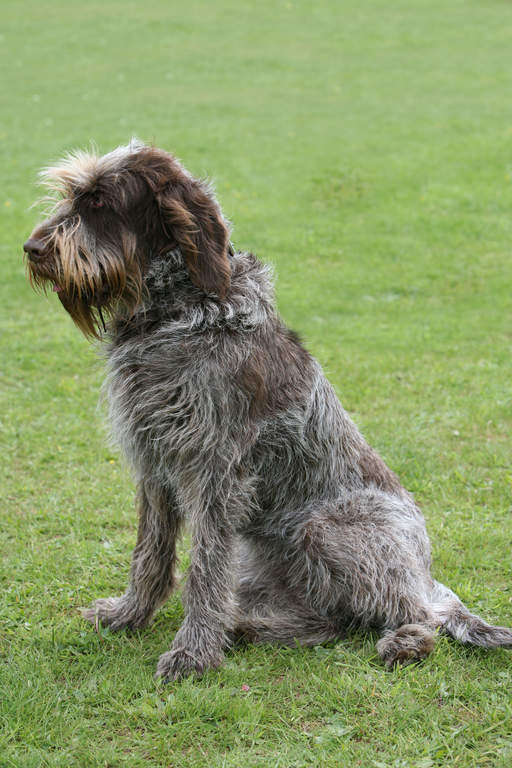 Spinone Italiano | Dogs | Breed Information | Omlet
