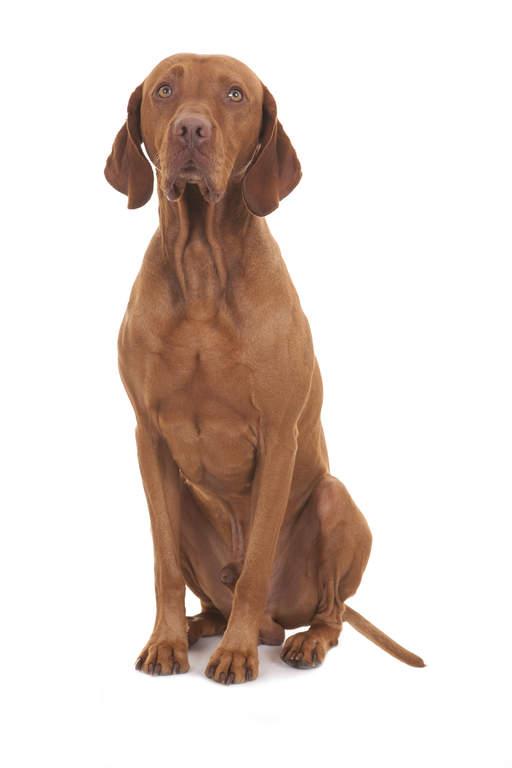 Vizsla Dogs Breed Information Omlet